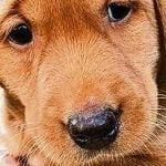 Boris the worried Labrador