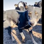 Dog protect owner from cattle