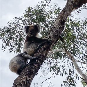 Koala and joey released back into the wild after rescue