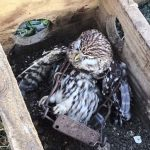 Little owl killed by Fenn trap put down by gamekeepers on the Queen's Sandringham estate