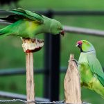 Ring-necked parakeets of Britain