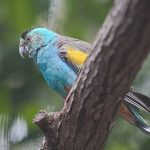 Golden-shouldered parrot under threat from Mr Harris's plans